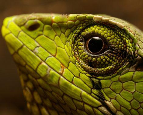 Falso camaleón multicoloreado de la amazonía ecuatoriana